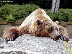 Гигантский бурый медведь