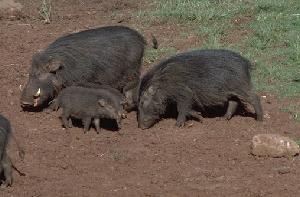 Гигантская лесная свинья