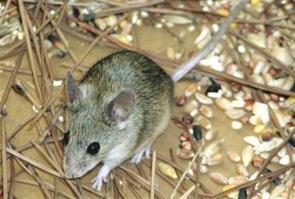 Кипрская мышь