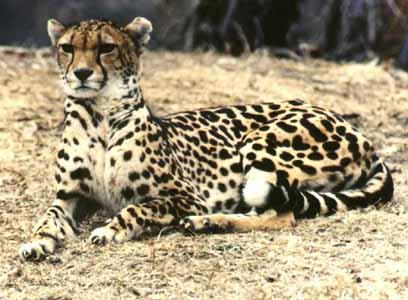 В этого гепарда ученые не верили очень долго