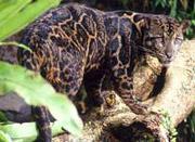 Новый вид леопарда